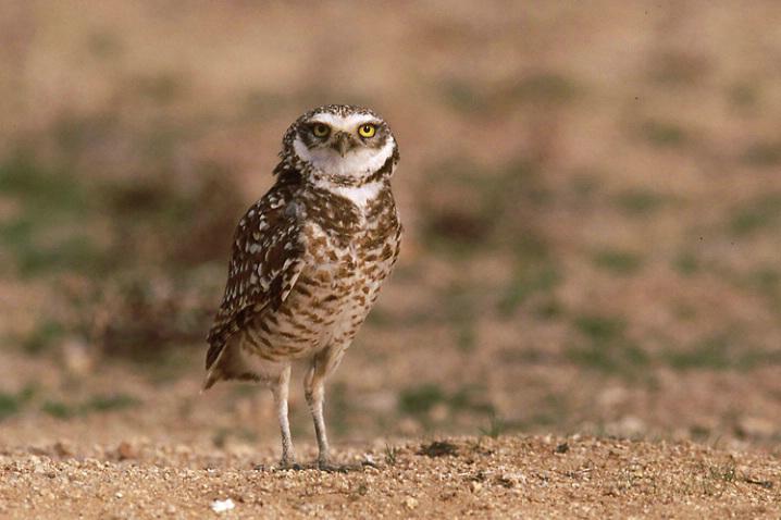 burr-owl