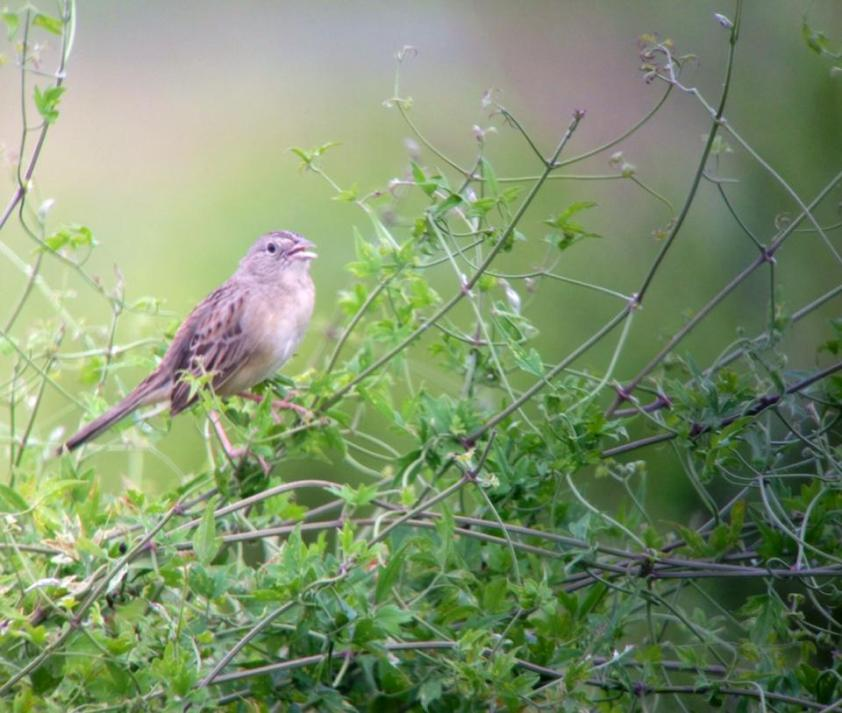 Matt's Botteri's sparrow. He digiscoped this using my camera. It is singing. He was crowing.