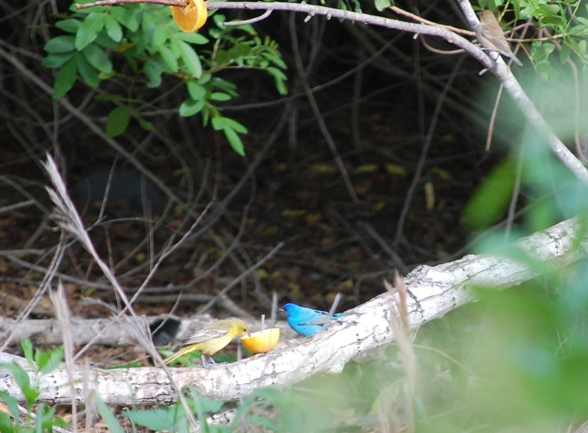A male indigo bunting dines with a female ... something ... at the orange cafe. Photo by Terry Byrne