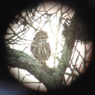 My digiscoped ferruginous pygmy-owl.
