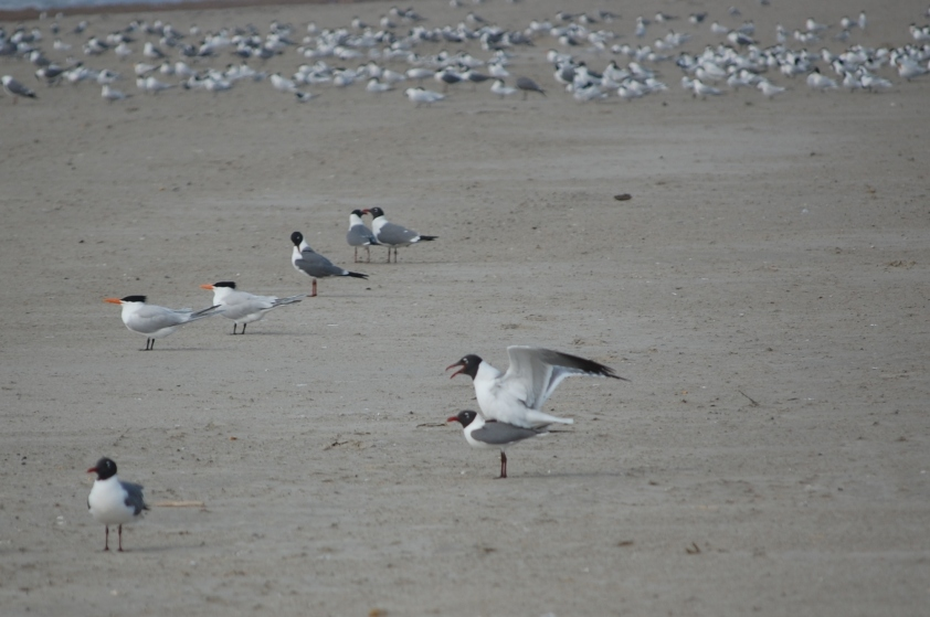 Birds do it, terns do it. And  so do laughing gulls. (Photo by Terry Byrne)